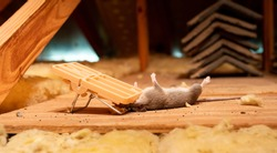 Dead rat caught in exterminator snap mouse trap. Pest and rodent removal service.