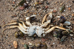 dead river crab washed up on beach