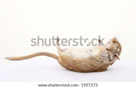 dead rodent, died of natural causes, isolated on white