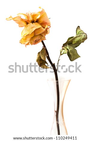 Dead rose in a crystal glass bud vase, isolated.