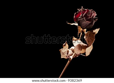 dead rose on black background