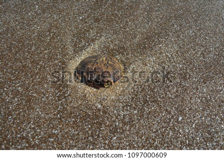 dead sea shells #1097000609