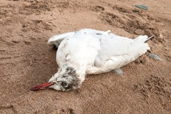 Dead seagull on lying on a sandy beach. Environmental disasters and wildlife.