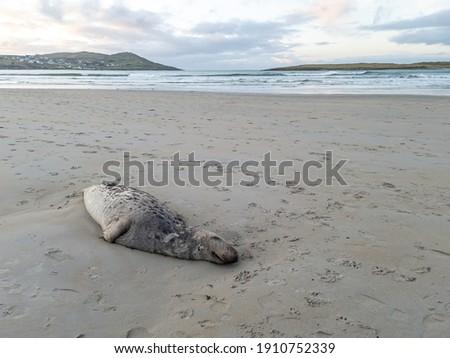 Dead seal lying on Narin beach by Portnoo - County Donegal, Ireland. Stok fotoğraf ©
