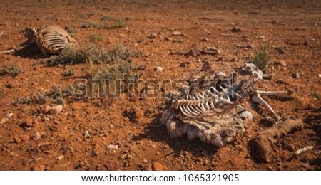 dead sheep skeleton