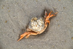 Dead Shore crab, grown with Barnacles, on the sand of the beach