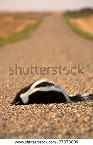Dead skunk in the middle of a Saskatchewan country road