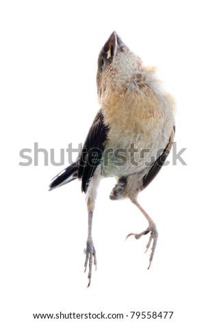 dead sparrow bird isolated on white