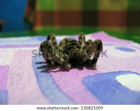 Dead spider with hairy legs. Tarantula.