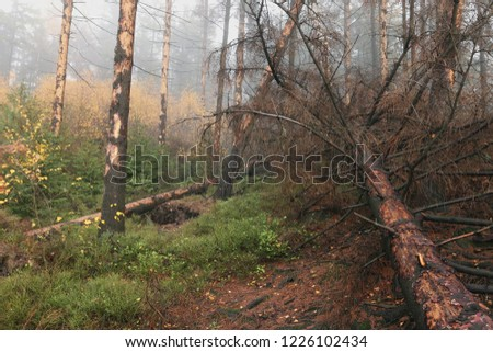 Dead spruce trees killed by spruce bark beetles. Calamity of a tiny insect in Central Europe.