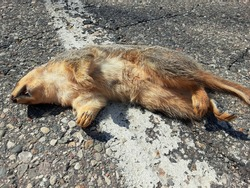 Dead squirrel. Roadkill. Dead squirrel laying on paved road. Mouth open, laying on its side, photo taken from the belly side. No visible trauma or injury.