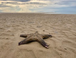 Dead starfish on a beach when tide is falling. Starfish at Nai Yang beach in Phuket island, Thailand.