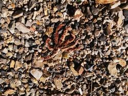 dead Starfish on a rocky beach
