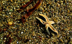 dead starfish on the sand with algae and vivalve shells around
