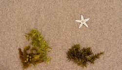 Dead startfish and green seaweed on the sand, flat lay.