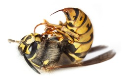 Dead stinging bee or wasp wing animal insect macro