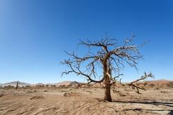 Dead Tree at Sossusvlei in the Namib Desert, Namibia, Africa