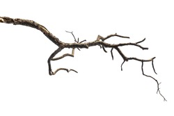 dead tree branch isolated on white background