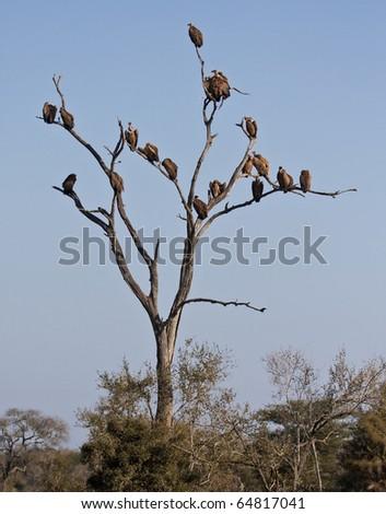 Dead tree full of vultures