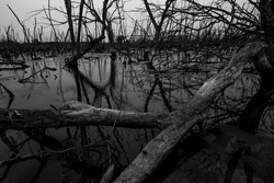 Dead tree in degraded mangrove forest. Environmental crisis from climate change, pollution, sedimentation. Degradation and destruction of mangrove forest. Coastal crisis. Dark background for death.