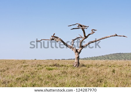 Dead tree in in savanna meadow against blue sky background. Serengeti National Park, Tanzania, Africa.