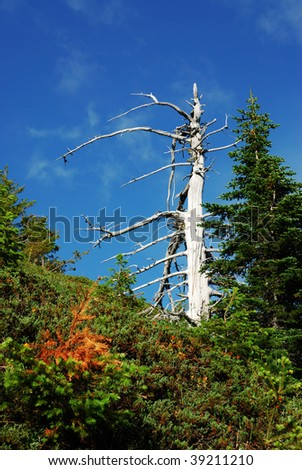 Dead tree in the forest, hurricane ridge, Olympic national park, Washington