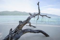Dead tree on a beach at sunshine, Thailand