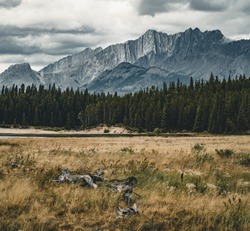 Dead tree trunks with roots in with mountain peaks in the background. Taken at Lower Kananaskis Lake, Alberta, Canada.
