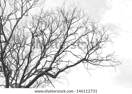 Dead tree without leaves on white background
