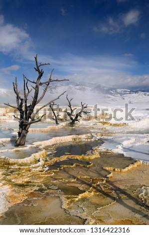 Dead trees and steaming colored travertine pools with snow at the Main Terrace at Mammoth Hot Springs Yellowstone Park in winter