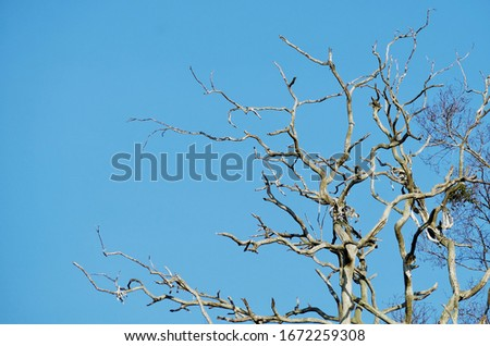Dead trees are left with deca yet branches without leaves.The background is blue sky Сток-фото ©