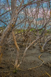 dead trees in the mangrove forest