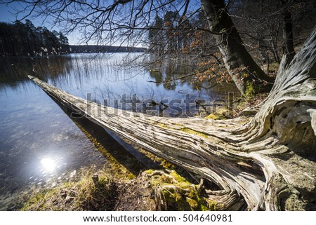 Dead trees in the water, spring at the lake and bright sunshine, warm light on the lake Dead wood on the shore of a clear, natural lake, reflecting beautiful clouds in the water