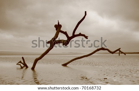 Dead trees on a beach, swept forward as the tide submerges them every day.