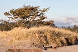 Dead weathered trees on sand dunes with grass