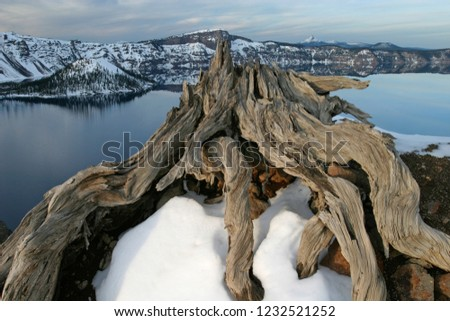 Dead whitebark pine overlooking Crater Lake and Wizard Island in winter, Crater Lake National Park, Oregon, USA