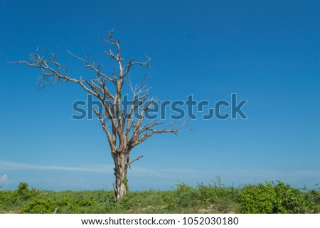 Dead wood on blue backdrop. Single old and dead tree. on  blue background
