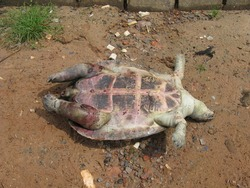 Dead yellow-footed tortoise on the Rio Negro riverbank (Chelonoidis denticulata), also known as the Brazilian giant tortoise, Testudinidae family.