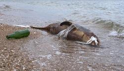 Dead young dolphin on the sea shore. Earth wildlife, environmental pollution, ecological catastrophe. Dead animal.