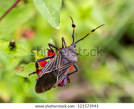 Deadly kissing bug Mexico. Blood sucker,  infection is known as Chagas disease. Bugs infected with the parasite Trypanosoma cruzi