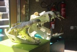 Deadly skull of Crocodile and Hippo