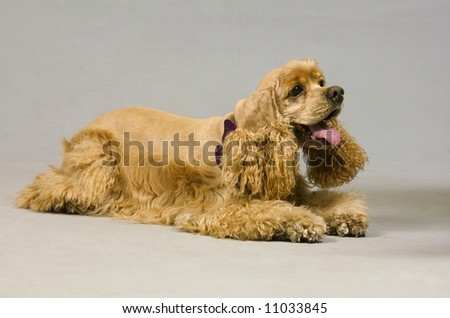 Dear Coker sat against the gray background in the studio - stock photo