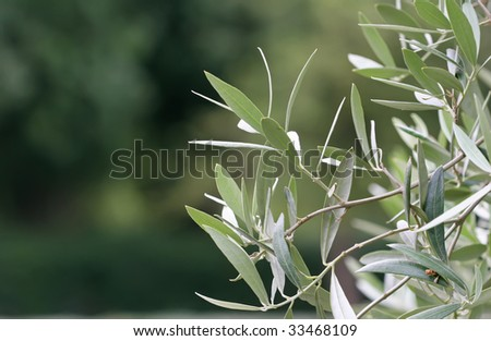 deatail of olive tree brunch on isolated background