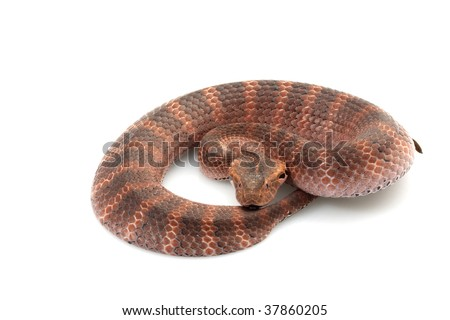 Death adder (Acanthophis) isolated on white background