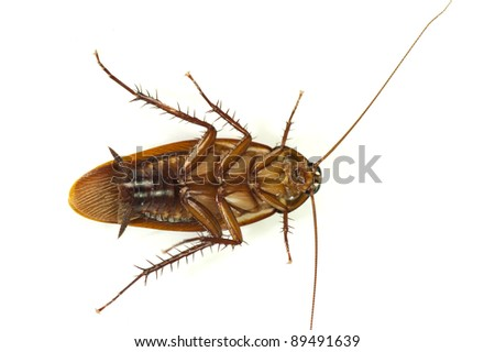 death cockroach on white background.