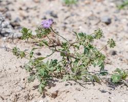 Death Valley scorpion-weed (Phacelia vallis-mortae) is an uncommon Mojave desert endemic plant that is a member of a diverse genus.