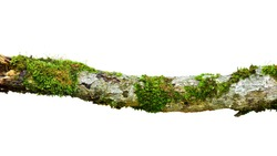 Decaying branches and mosses isolated on white background. This has clipping path.