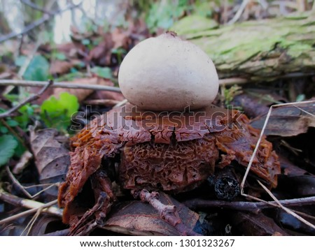 Decaying brown and white rare earthstar mushroom.