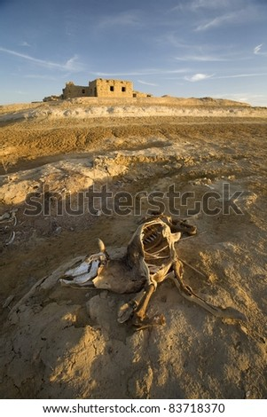 Decaying Carcass Of A Cow On The Outskirts Of Siwa Town, Siwa Oasis, Egypt