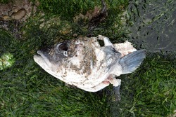 Decaying head of a fish on a sea rock with algae. Concept of decomposition, death, natural death, skeleton